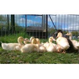 Farmyard Ducklings