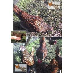 Sebright (Gold Laced)