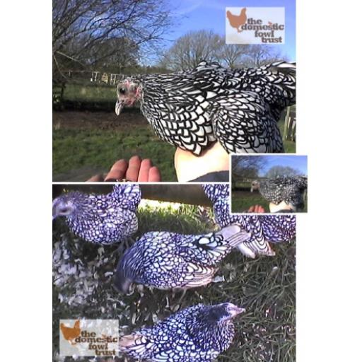 Sebright (Silver Laced)