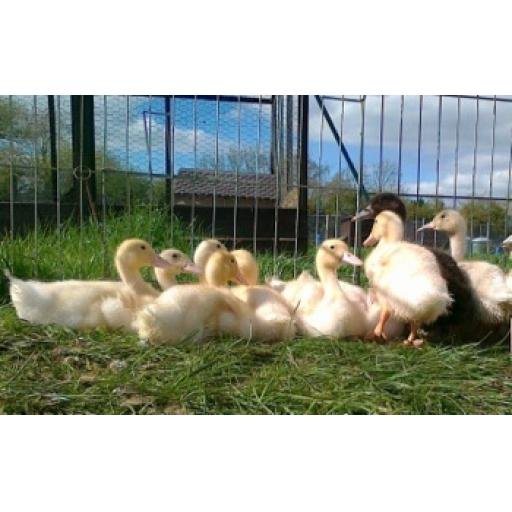Farmyard Ducklings