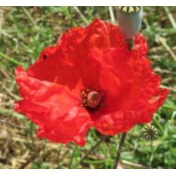 Common_Poppy.jpg