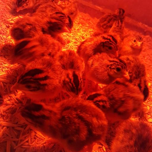 guinea fowl 2.jpg
