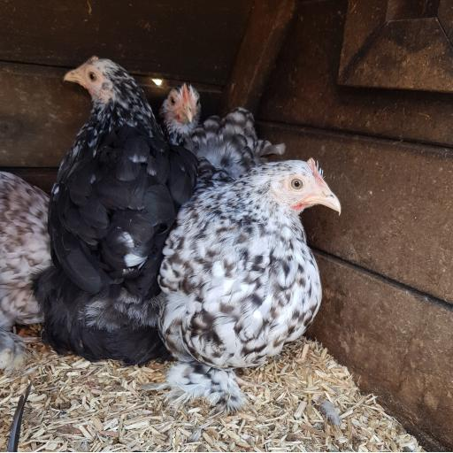 Pekin Bantam (mixed colours)
